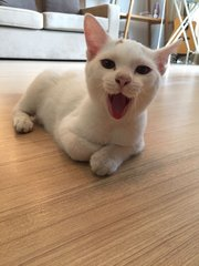 Snowy - Domestic Medium Hair Cat