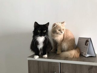 Toothless And Pury - Persian Cat