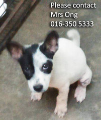 Puppies For Adoption, Klang - Mixed Breed Dog