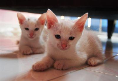 Puteh,tompok, Kechik & Comot - Domestic Short Hair Cat