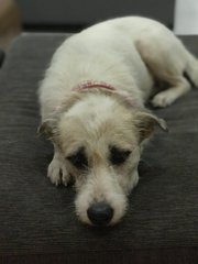 Lady Amber  - Terrier Mix Dog