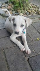 Whittiee  - Mixed Breed Dog