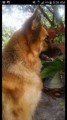Beauty - German Shepherd Dog Dog
