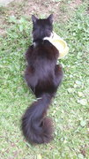 Lost Black And White Male Cat - Domestic Medium Hair Cat