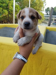 Adolable Stray Dog Puppies For Adoption  - Terrier Dog