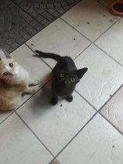 Ginger And Milo - Domestic Short Hair Cat