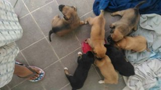 Puppies For Urgent Adoption - Mixed Breed Dog