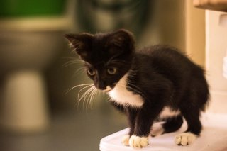 Kittens Looking For Forever Home. - Domestic Short Hair Cat