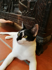 Lucky Oreo (Lux)  - Domestic Short Hair Cat