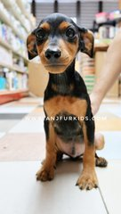 Quality Male Mini Pinscher Puppy - Miniature Pinscher Dog