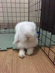 Mister Snow - Lop Eared Rabbit