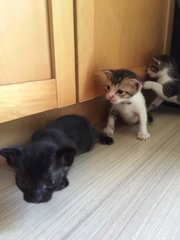 4 Kittens - Domestic Short Hair Cat