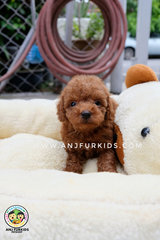 Quality Red Brown Male Tiny Toy Pdoodle  - Poodle Dog