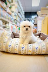 Quality Maltese Pufppies - Maltese Dog
