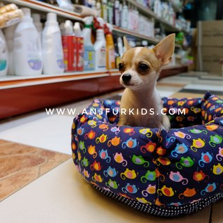 Adorable Smooth Coat Chihuahua Puppies  - Chihuahua Dog
