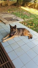 Xena GSD N Mali Cross - German Shepherd Dog + Belgian Shepherd Malinois Dog