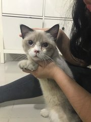 Monkey - Persian + Siamese Cat