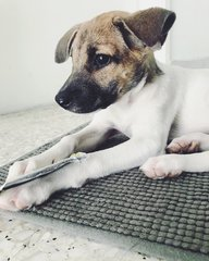Baby Biscuit - Mixed Breed Dog