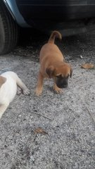 2 Male Puppies(Jawi) - Mixed Breed Dog