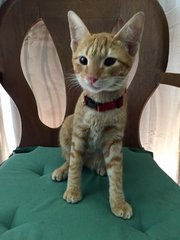 Saffron - Domestic Short Hair Cat