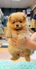 Quality Pomeranian Puppies - Pomeranian Dog