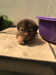 Adopt Puppy - Mixed Breed Dog