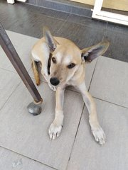 Sweet Puppy For Adoption  - Mixed Breed Dog