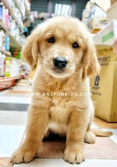 Quality Big Bone Golden Retrie2ver Pup - Golden Retriever Dog