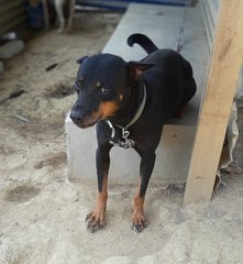 Bubu  - German Pinscher + Pit Bull Terrier Dog