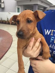 SIA - Patterdale Terrier (Fell Terrier) Mix Dog