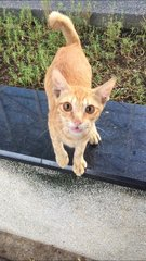No Name (stray At Cimb Raja Laut) - Domestic Short Hair Cat