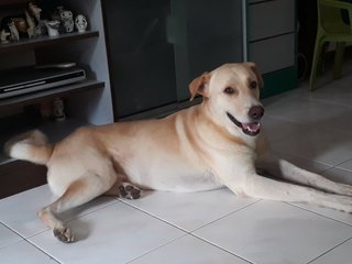 Max - Labrador Retriever Dog