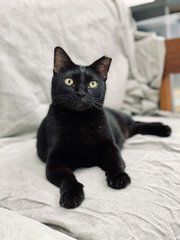Maggie - Domestic Short Hair Cat