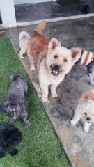 Big Baby Terrier Mix For Adoption - Yorkshire Terrier Yorkie Dog