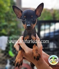 Quality Male Mini Pinscher Pup2pies - Miniature Pinscher Dog