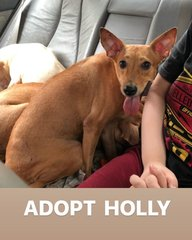 Holly-Rat Terrier Crossed Breed - Rat Terrier Mix Dog