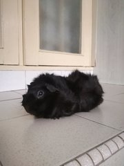PF91682 - Guinea Pig Small & Furry