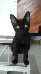 ADOPTED Adorable Lilly Needs A Home - Domestic Short Hair Cat