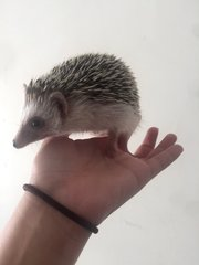 Timmy - Hedgehog Small & Furry