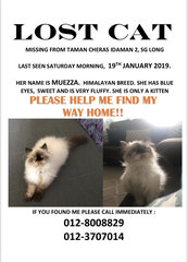 Muezza - Himalayan + Persian Cat