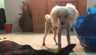 White Miniature Poodle - Poodle Dog
