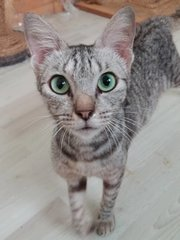 Sylvia  - Domestic Short Hair Cat