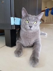 Kuaci - Domestic Short Hair Cat