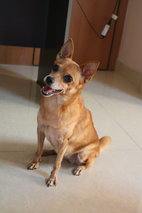 Dadanui (Or Juju) - Miniature Pinscher + Pomeranian Dog