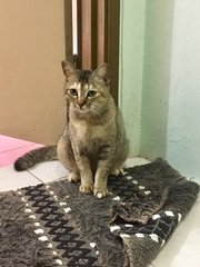 KitKat From Kulim - Domestic Short Hair Cat