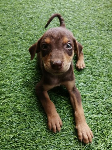 Cute Puppies For Adoption  - Mixed Breed Dog