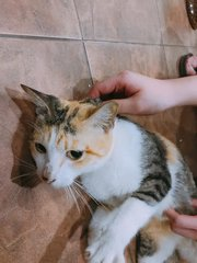 Pennyworth (Penny) - Domestic Short Hair + Calico Cat