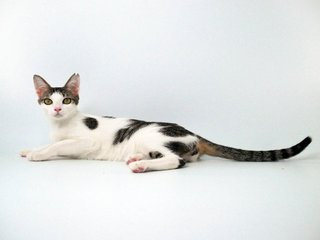 Kleopetra - Domestic Short Hair Cat