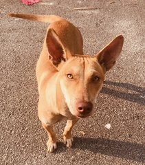 Amberr - Mixed Breed Dog