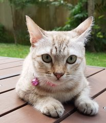 "Nala ""the Confident Girl"" - Burmese + Siamese Cat"
